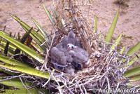 Chicks in nest