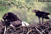 Adults and nestling
